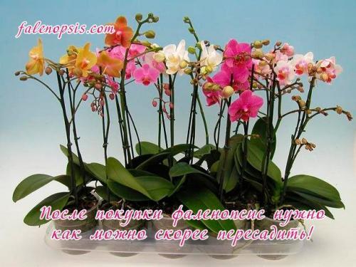 Можно ли пересаживать цветущую орхидею. Пересадка после покупки