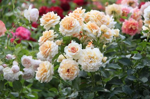 Розы осенняя подкормка. Чем подкормить розы осенью