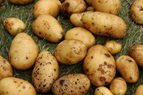 Рассыпчатые сорта картофеля. Ранние сорта картофеля