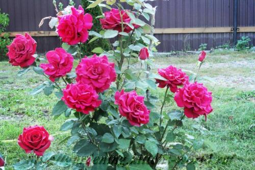 Осенняя подкормка роз осенью. Восстанавливающая подкормка роз осенью