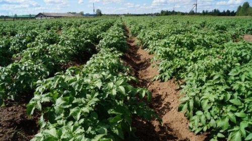 Сорт картофеля бриз характеристика. Картофель Бриз: описание сорта и фото