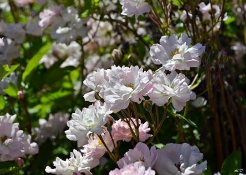 Миниатюрные розы. Карликовые розы: описание