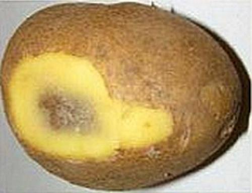 Почему чернеет картошка внутри при хранении. Картофель чернеет внутри — почему темнеет картошка при хранении