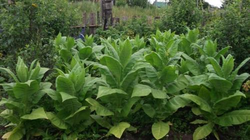 Как вырастить табак. Стоит ли выращивать курительный табак