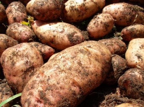 Картофель лапоть: описание сорта. Картофель Лапоть — описание сорта и характеристика