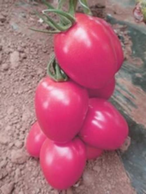 Новичок розовый томат. Томат «Новичок розовый»: описание сорта