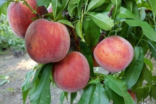 Ранние сорта персиков. Самые лучшие сорта персиков с фото и описанием