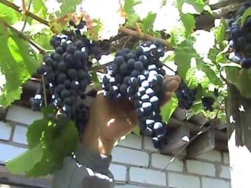 Виноград Один описание сорта. Описание сорта винограда Один