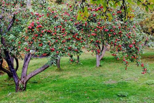 Сорт ранних яблок. Ранние сорта яблок для Подмосковья