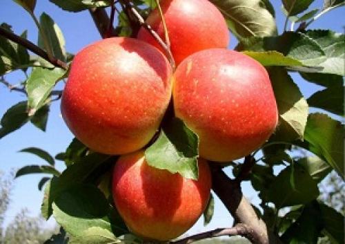 Летний сорт яблок. Различные летние сорта яблонь